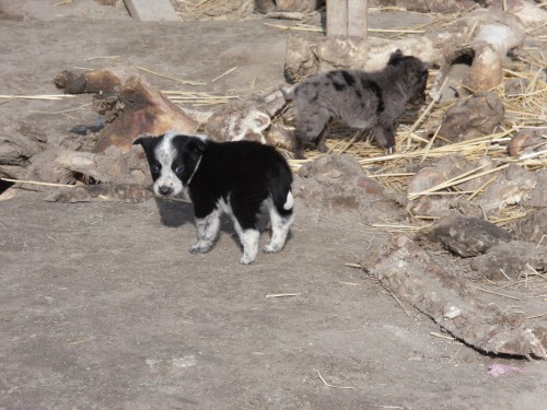 Princeton, Oregon Puppies in need of loving homes SOON
